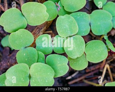 Yellow jewelweed (Impatiens pallida) seedlings. - Stock Image