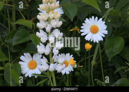 Lupine and oxeye daisies blooming in a meadow in spring. - Stock Image