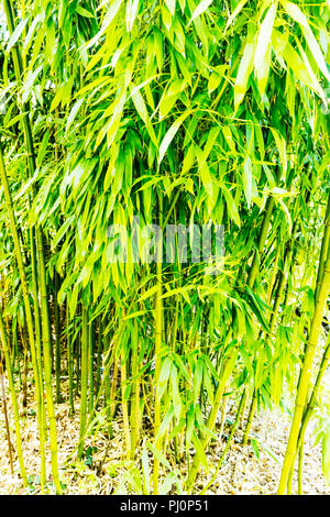 Green Bamboo, Hedging Plants, Phyllostachys bissetii, bamboo plant, bamboo stems, Green, Bamboo, Hedging, Plants, Phyllostachys, bissetii, leaves, - Stock Image