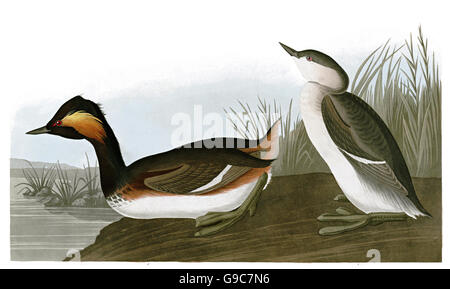 Eared grebe, Podiceps nigricollis, birds, 1827 - 1838 - Stock Image