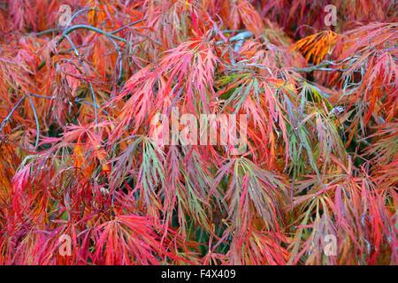 Autumn foliage on  Weeping Japanese Maple also known as Weeping Japanese Acer. The leaves create a feathery pattern - Stock Image