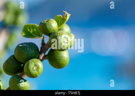 Unripe green figs fruits riping on fig tree close up with blue sky background - Stock Image