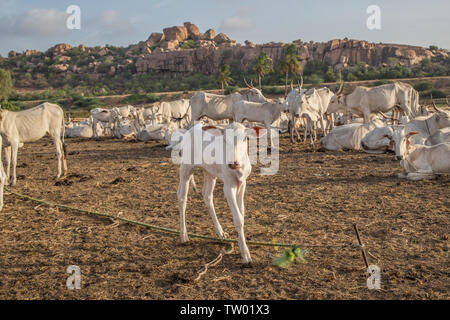 A small calf in a heard on a hot summer day in south India. - Stock Image