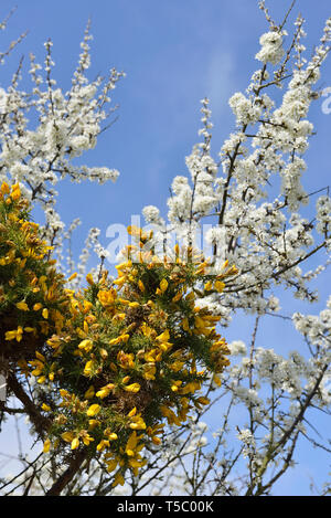 Flowering gorse shrubs and hawthorn blossom, Hastings Country Park, England, UK - Stock Image