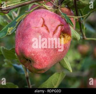 Red Delicious apple damaged by hail storm. the hailstorms have almost entirely wiped out harvest. - Stock Image