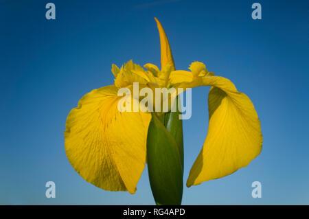 Wild iris pseudacorus, yellow flag, yellow iris or water flag. Blue sky background - Stock Image