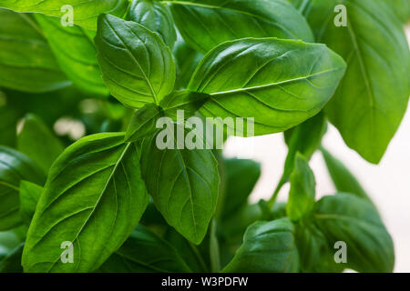 Organic fresh basil plant in flower pot, home gardening, plant care, hobbies, close up, selective focus - Stock Image