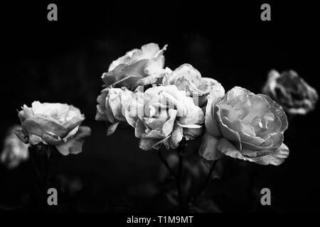 Black and white decaying roses - Stock Image