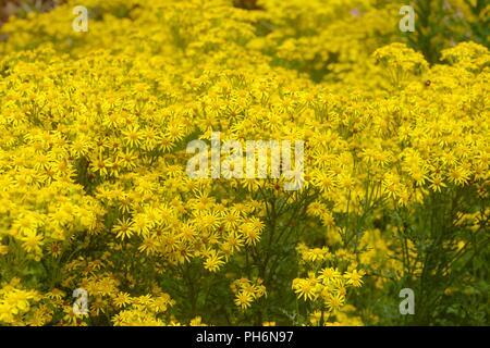 Senecio jacobaea, Ragwort flowers, Wales, UK. - Stock Image