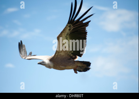 large bird of prey in flight - Stock Image
