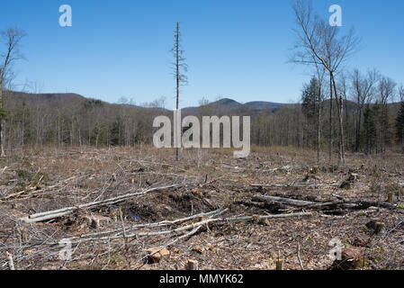 A view of a forest after clear cut logging in the Adirondack Mountains, NY USA - Stock Image