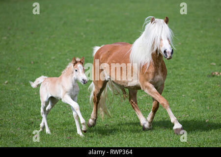 Haflinger Horse. Mare with foal trotting on a meadow. South Tyrol, Italy - Stock Image