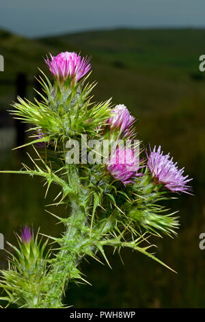 Carduus tenuiflorus (slender-flower thistle) is native to Europe and North Africa and is typically found in dry, coastal grasslands. - Stock Image