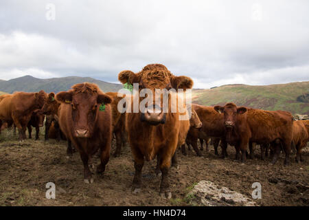 A herd of red brown long haired highland cattle - Stock Image