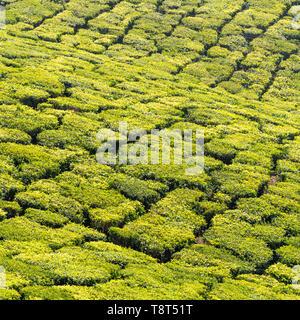 Square close up of the patterns made at a tea plantation in Munnar, India. - Stock Image