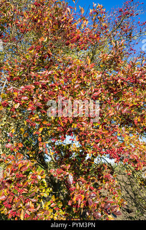Cockspur thorn in autumn with berries - Stock Image