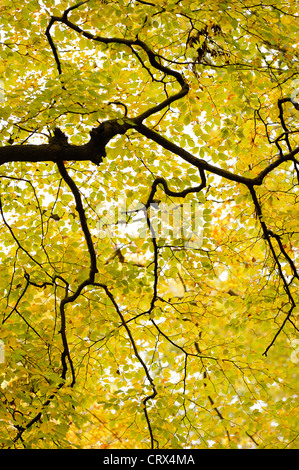Branches and autumn beech leaves (Fagus sylvatica) at Ashridge Forest In Hertfordshire, England. October. - Stock Image