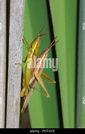 A pair of mating grasshoppers on cattails. - Stock Image