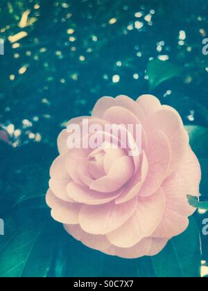 Pretty, light pink camellia flower in Spring, with texture overlay. - Stock Image