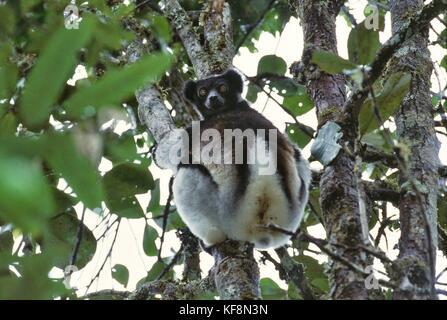 ZOOLOGY LEMURUDI Indri Indri Indri MADAGASCAR Perinet - Stock Image
