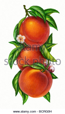 Peaches Vertical - Stock Image