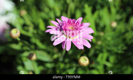 Lovely pink flower in closeup taken with a macro lens. In this photo you can see the bright pink flower during a sunny day and some green grass. - Stock Image