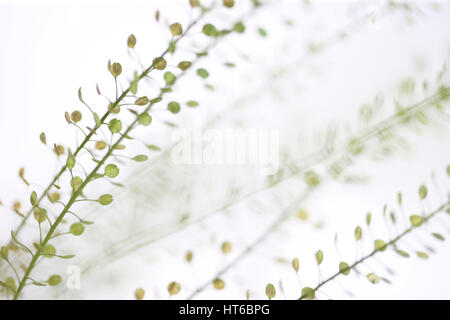 stems of thlaspi still life commonly known as field penny-cress Jane Ann Butler Photography  JABP1871 - Stock Image