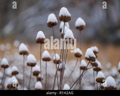 Wild bergamot seed heads in snow. - Stock Image