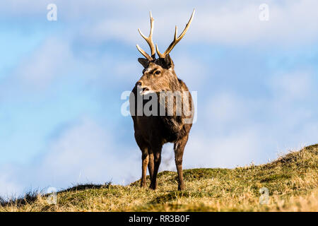 Japanese Sika Deer stag chewing grass at Knole Park, Kent, UK - Stock Image
