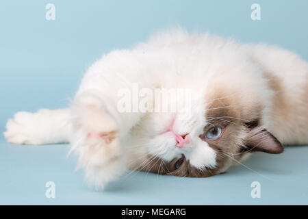 regdoll male cat looking at camera stretching paws - Stock Image