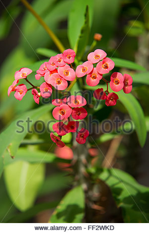 Euphorbia milii known as crown of thorns, Christ plant or Christ thorn - Stock Image