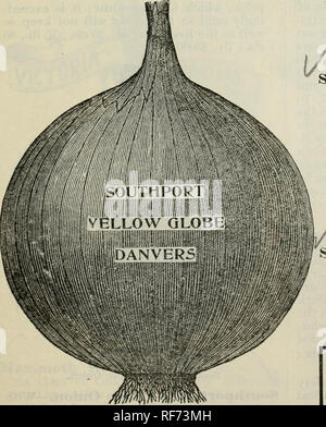 ". Buist's garden guide and almanac : 1902. Nursery stock Pennsylvania Philadelphia Catalogs; Vegetables Seeds Catalogs; Flowers Seeds Catalogs. L,arge Red Wethersfield Onion. stews. Per oz., 15 cts.; % lb., 30 cts.; lb., fl.00; 5 lbs., at 95c; 10 lbs. at 90c. per lb. ""White Silver Skin.—This is the famous variety which is sown so extensively in Philadelphia for growing Onion Sets, from which full-grown onions are produced by June and July; it is not only the mildest but the most delicate flavored variety, and generally preferred for table use; is of the same shape as the Yellow Strasburg, - Stock Image"
