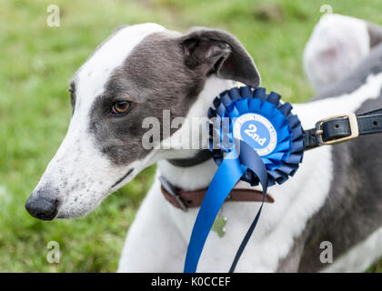 The Barlow Hunt Dog Show - A portrait of a greyhound dog with his blue rosette for coming second in his class - Stock Image