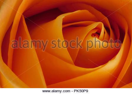 Closeup of Beautiful Yellow Rose - Stock Image