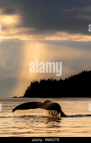 Humpback whale (Megaptera novaeangliae) lifts it's fluke as it feeds in Lynn Canal at sunset, Southeast Alaska; Alaska, United States of America - Stock Image