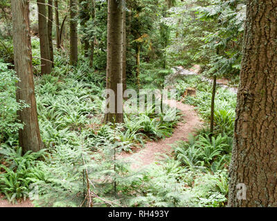 The Florest Floor: A small path winds through the fern covered floor of a mature west coast rain forest on the grounds of UBC. - Stock Image