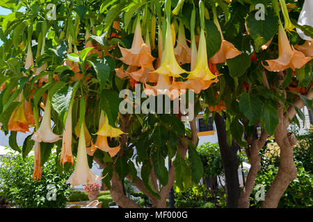 Brugmansia Tree -  Datura Stramonium plant, which contains scopolamine, - Stock Image