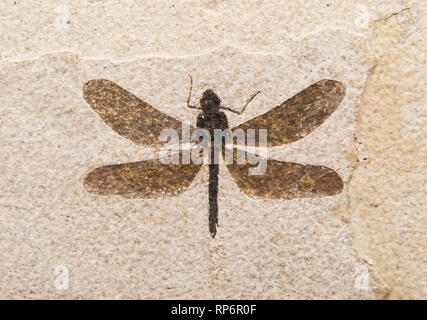 Fossil imprint of a dragonfly. The Field Museum. Chicago, Illinois, USA. - Stock Image