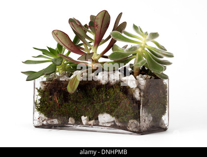 A small green jade plant in a container on a white background - Stock Image