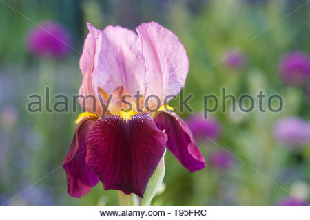 Iris germanica 'Indian Chief' flower. - Stock Image