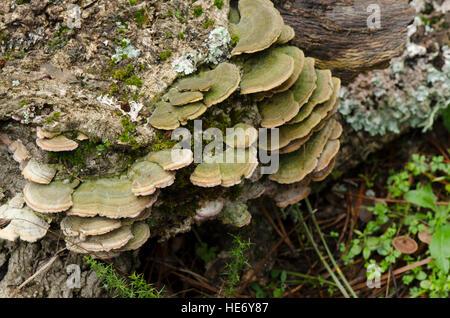 Turkey tail Fungus on dead wood (Trametes versicolor) Coriolus versicolor, Polyporus versicolor, Andalusia, Spain. - Stock Image