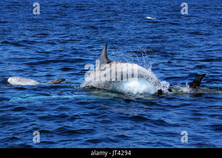 Risso's Dolphin (Grampus griseus) socializing at Monterey Bay - Stock Image