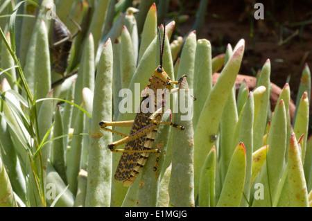 Brown bush locust (Phymateus baccatus: Pyrgomorphida) foaming / Lubber grasshopper, Namibia - Stock Image