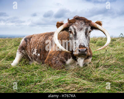 Long Horn Cow in a field at Devil's Dyke, near Brighton - Stock Image
