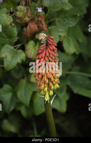 Shenandoah Red Hot Poker (Kniphofia) in bloom, taken in summer in the UK. - Stock Image