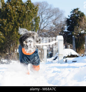 Dog dressed in a winter coat is fetching a stick. Its hairy muzzle is full of snow. An old cemetery and treetops - Stock Image