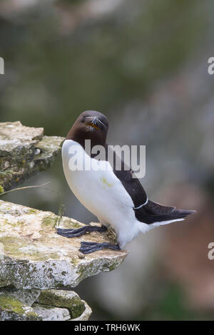 Detailed, close-up front view of a wild, British razorbill seabird (Alca torda) isolated, standing/ balancing on the edge of sunny coastal cliff , UK. - Stock Image