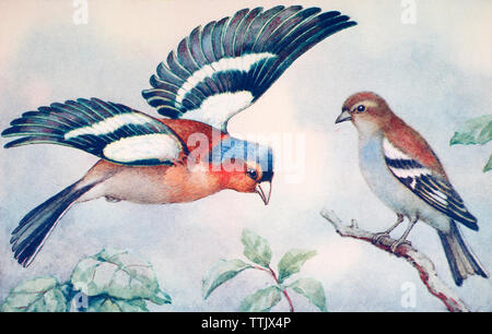 EDITORIAL ONLY  Male and female common chaffinches, Fringilla coelebs. From a contemporary print, c.1935. - Stock Image