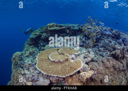 Female scuba diver with video camera photographs school of bluestriped snapper fish over table coral at the top of a pinnacle in the Red Sea. - Stock Image