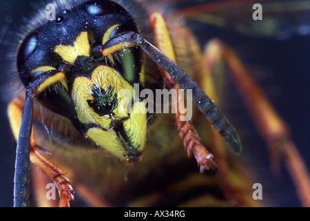 Wasp looking at the camera - Stock Image